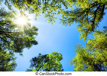 Treetops framing the sunny blue sky - The canopy of tall...