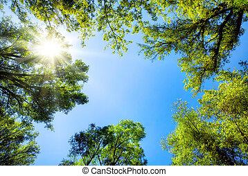 Treetops framing the sunny blue sky - The canopy of tall...