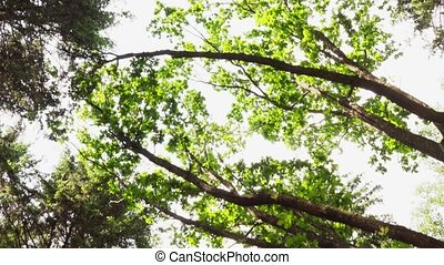 Treetops in summer forest, moving background