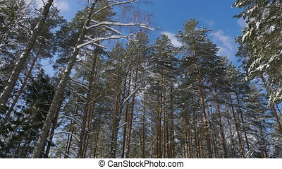Treetops in winter forest on sunny day - Panoramic shot of...