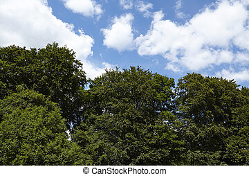 Treetops of broadleaf trees against a blue sky with white...
