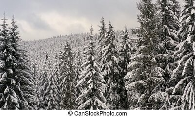 Treetops of coniferous trees covered with snow in winter from drone. Natural scenery on a cloudy day. Frosted forest in mountains from aerial perspective.