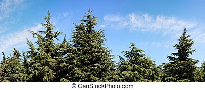 Treetops of fir-trees on cloudy sky background on bright summer day