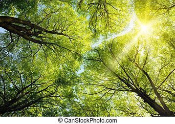 treetops, sol, por, brillar