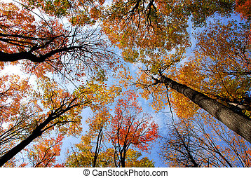Treetops - Tops of colorful fall trees on blue sky...