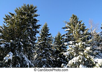 Treetops with snow against a blue sky