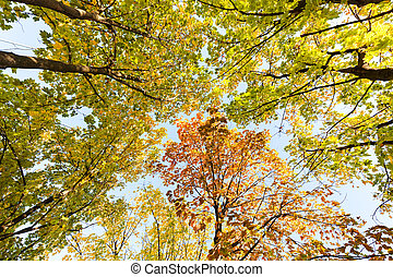 treetops with the sky - autumn treetops shoting from the...