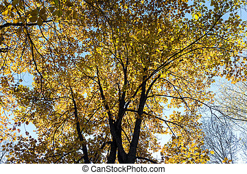 treetops with yellow foliage in autumn on blue sky background