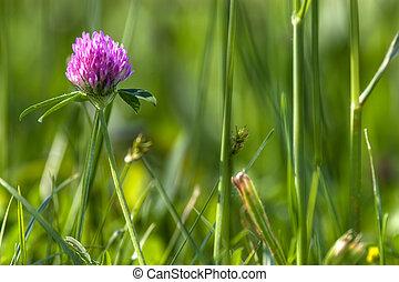 trefoil flower in meadow