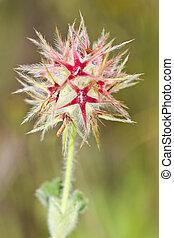 Trefoil (Trifolium stellatum) - Close up view detail of the...