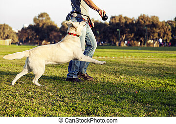 treinador, mastigue brinquedo, labrador, parque, cão