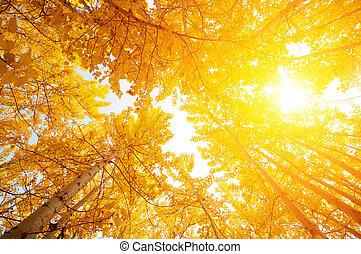 tremble, arbres, automne