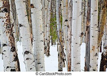 tremble, arbres