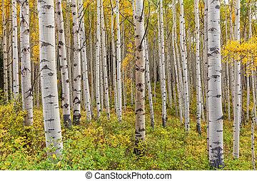 tremble, automne, bosquet