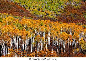 tremble, coloré, arbres