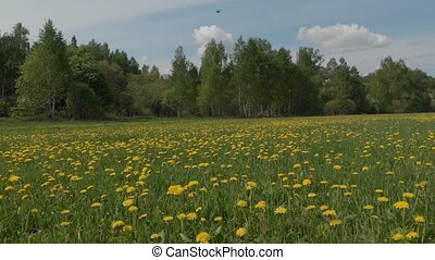 tremendous panorama endless blooming dandelion field and...