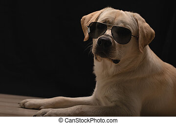 trendy Labrador puppy in sunglasses posing as model. cool dog