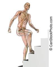 treppe, hochklettern, muskeln, -, skelett