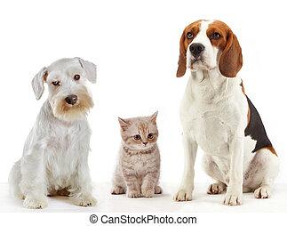 tres, animales domésticos, gato, y, perros