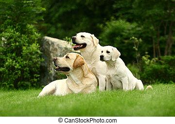 tres, blanco, perros