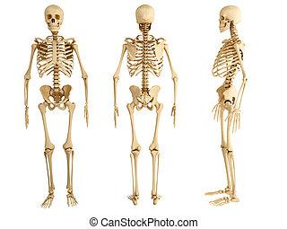 tres, esqueleto, humano, vistas