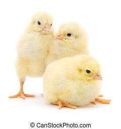 tres, lindo, polluelos, aislado, blanco