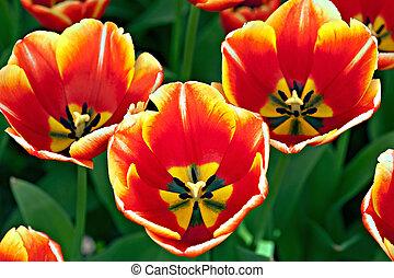 tres, tulipanes