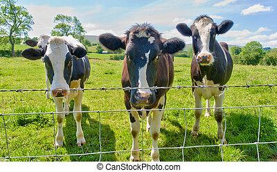 tres, vacas, atrás, un, alambre de púa, fence.