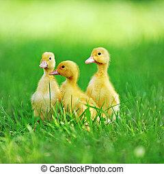 tres, velloso, polluelos