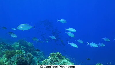 Coral reef with a school of Snapper and Trevallies
