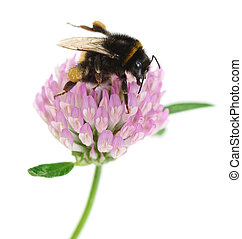 trevo, bumblebee