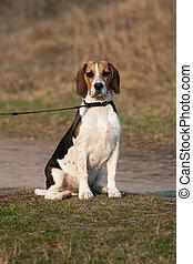 Tri-colored beagle puppy - Cute tri-colored beagle puppy...