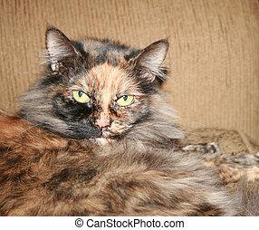 tri colored cat staring