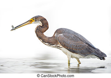 Tri-colored Heron on White Background - A juvenile...