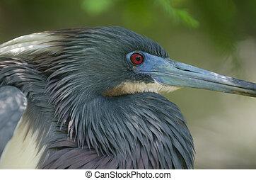 Tri-colored heron - A Tri-colored heron in a Florida swamp