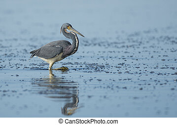 Tri-colored Heron Reflection - A Tri-colored Heron walks in...