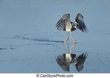 Tri-colored Heron Running on Water - A Tri-colored Heron...