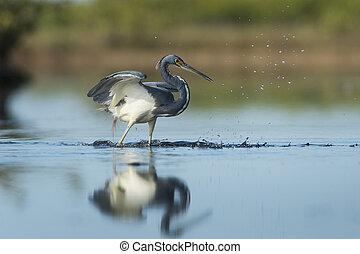 Tri-colored Heron Splashing - A Tri-colored Heron misses a...