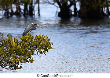 Tri-colored heron standing on a bush over a marsh - One...