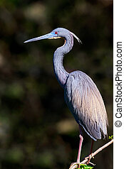 Tri-colored Heron - A tricolored hereon, with breeding...