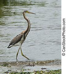 Tri-colored Heron - Immature Tri-colored heron walking along...