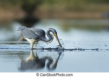 Tri-colored Heron with Small Fish - A Tri-colored Heron...