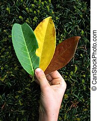 tri-colored leaves - in child\\\'s hand