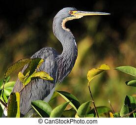 Tri-colored - The Tri-colored Heron in the Florida...