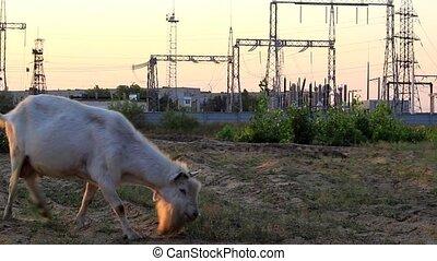 Tribal goat eats grass