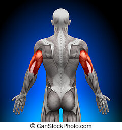 triceps, -, anatomia, músculos
