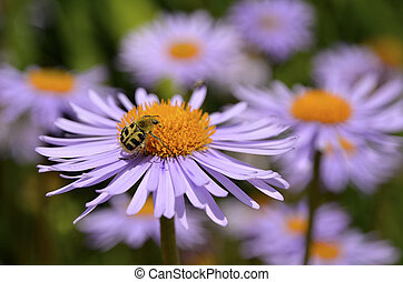 Trichius beetle on aster flower - Trichius fasciatus beetle...