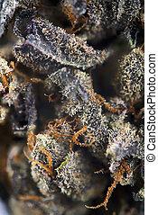 trichomes, cannabis, macro, cabelos, marijuana, detalhe, visível, fundo, médico, broto