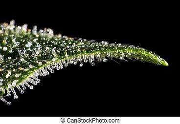 Macro closeup of trichomes on cannabis indica leaf.