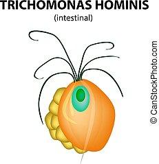 Trichomonas intestinal structure. Trichomoniasis. Urogenital...
